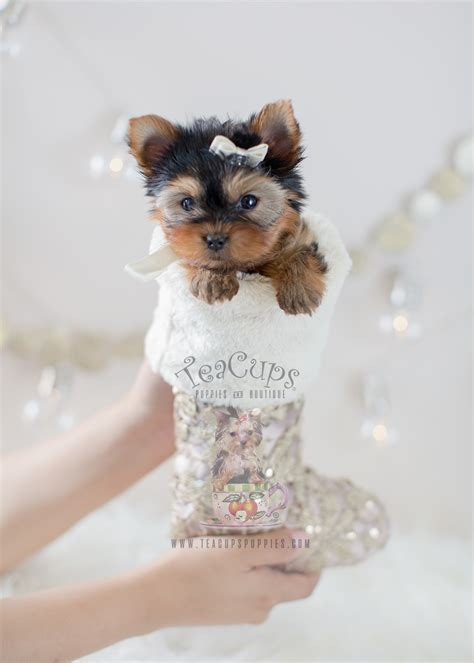 yorkie puppy for sale bulldog puppy for sale south florida teacups puppies boutique