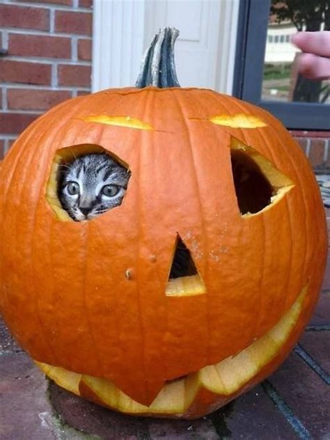 cat and pumpkin pumpkin hiding cat pictures photos and images for