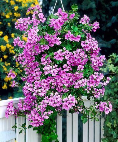 elisia bloemen dubbelbloemige hanggeraniums roze jonge plant planten