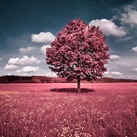 pink tree  grassland ipad wallpaper