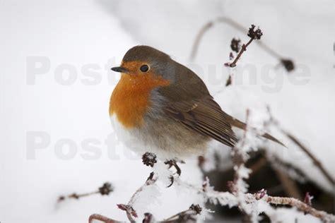 Rotkehlchen Im Winter 4661 by Steve Rotkehlchen Im Winter Poster