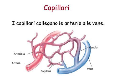 vasi capillari l apparato circolatorio ppt scaricare