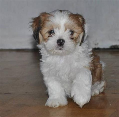 shorkie tzu puppies 107 best images about shorkie puppies on future baby yorkie and shih tzus