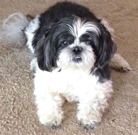 shih tzu socks 17 best images about shih tzu pets on animals and pets puppies and shih tzus