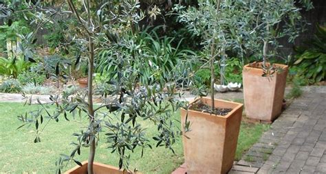 ulivi in vaso ulivo consigli per la coltivazione ulivo come curare