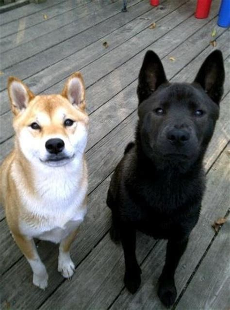 all about the shiba inu i ve never seen an all black shiba inu pet stuff