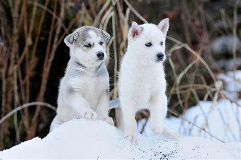 husky puppy adoption siberian husky puppies dogtime