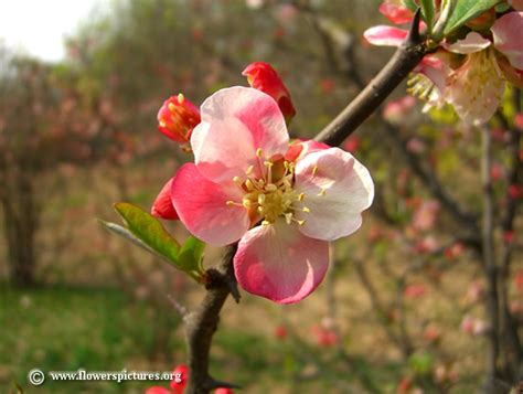 flower quince wallpaper flowering quince pictures free flowering quince photos