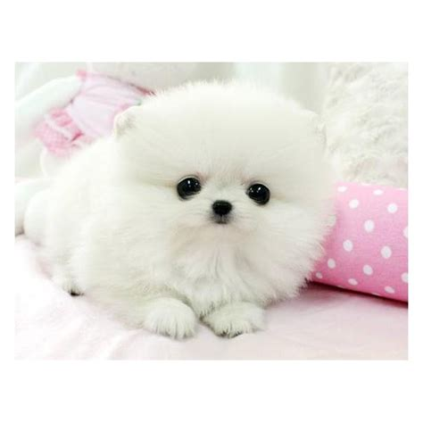 cutest pomeranians puppy dogs white pomeranian puppies