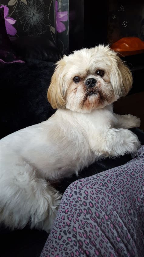 shih tzu for stud shih tzu for stud prescot merseyside pets4homes