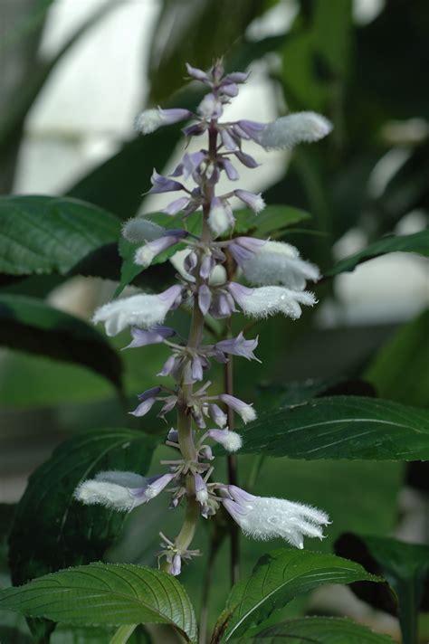 File:Salvia divinorum  1