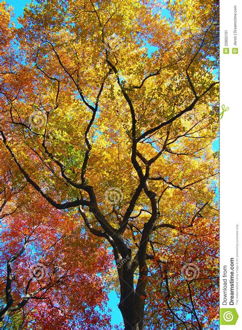 tree leaves changing colors  fall approaches stock image