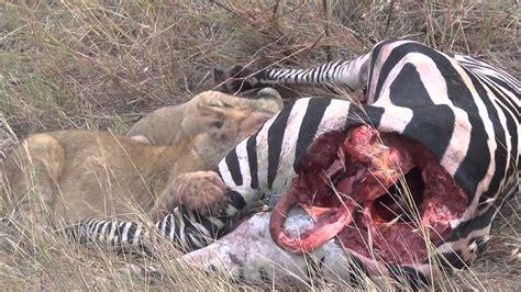 imagenes de animales y personas cachorros de le 243 n comiendo una cebra 161 no apto para