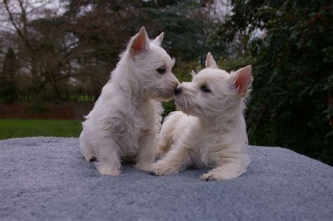 westie puppies westie pups knutsford cheshire pets4homes