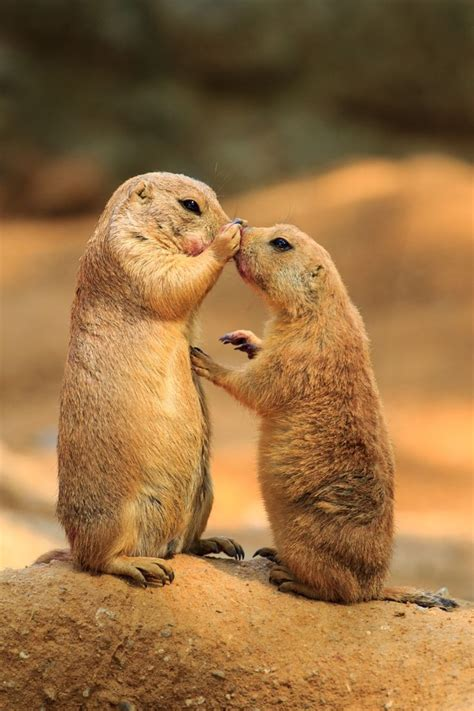 Best 25  Prairie dogs ideas on Pinterest