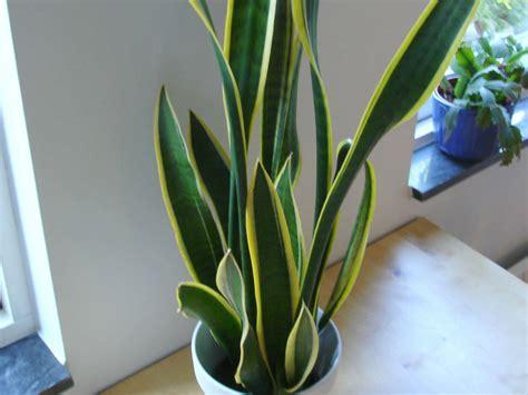 sansevieria trifasciata snake plant world  succulents