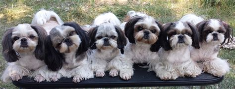 shih tzu vaccine sapphire shih tzu quality shih tzu for sale