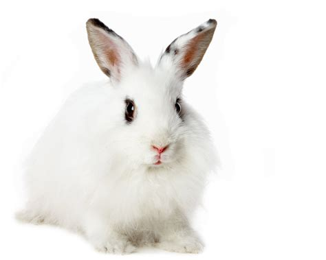 White Rabbit All About Animal Wildlife White Rabbit Hd Wallpapers