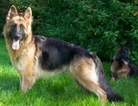 Long haired german shepherds puppies carlisle cumbria pets4homes