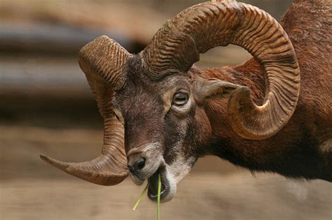 horns   animal world  definitive list modern farmer