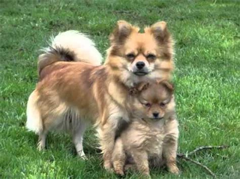 pomeranian and australian shepherd pomeranian australian shepherd mix picture collection and ideas dogs breed