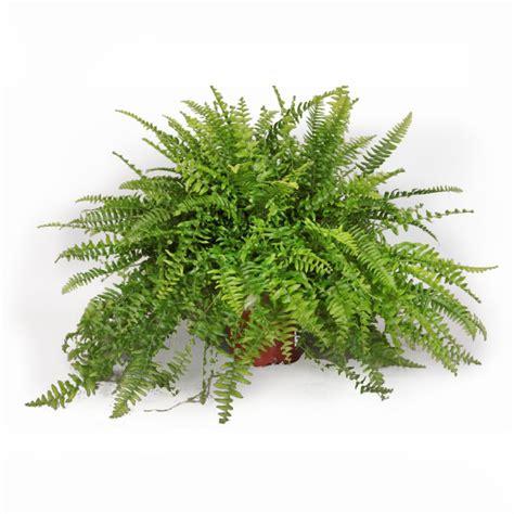 Supérieur Plante Dans Salle De Bain #7: 6378-fougere-nephrolepis-boston-17-cm-3.jpg