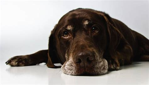 chocolate bad for dogs why is chocolate bad for dogs curiosity aroused