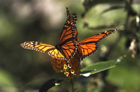 the monarch of the pics for gt monarch butterfly face
