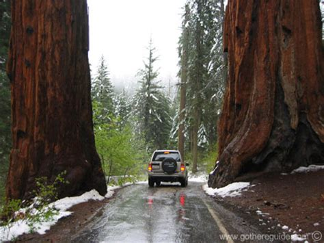 Pohon Huruf Iu foto pohon paling raksasa di dunia asalasah