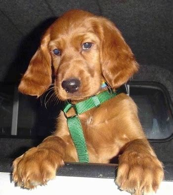 irish setter family dog irish setter dog breed information and pictures