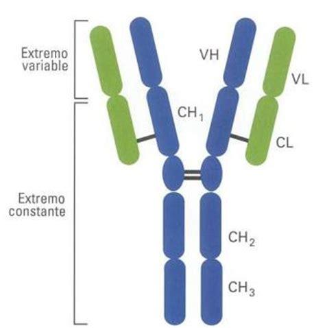 tipos de cadenas ligeras anticuerpos inmunoglobulinas www santateresa uphero