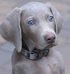 weimaraner puppies for sale freehart s weimaraner available california akc weimaraner puppies