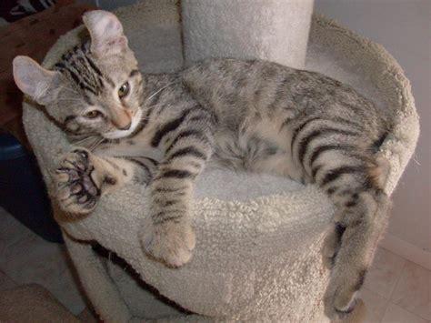 Lynx House Cat by Domestic Lynx Www Imgkid The Image Kid Has It