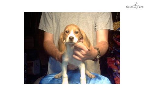 shipping puppies by air gorgeous akc tricolor air shipping included beagle puppy for sale near fort