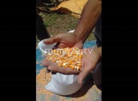 Bibit Jagung Lokal mimoza tv warga keluhkan kwalitas bibit jagung bantuan