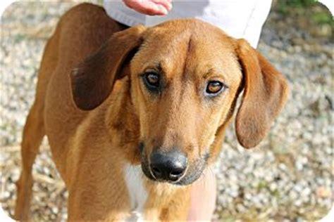redbone coonhound golden retriever mix donald 6 months adopted puppy haskell nj redbone coonhound golden retriever mix