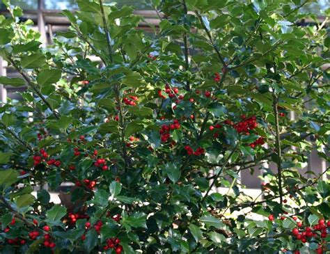 agrifoglio in vaso agrifoglio piante per giardino propriet 224 e