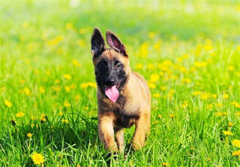 belgian malinois puppy price belgian malinois puppies www pixshark images galleries with a bite