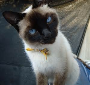 File:Gato Siamés ojos azules.JPG - Wikimedia Commons Gato