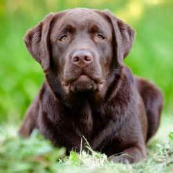labrador or golden retriever best family dogs the most popular breeds in the u s outside