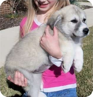 puppies huntsville al athena adopted puppy huntsville al keeshond golden retriever mix