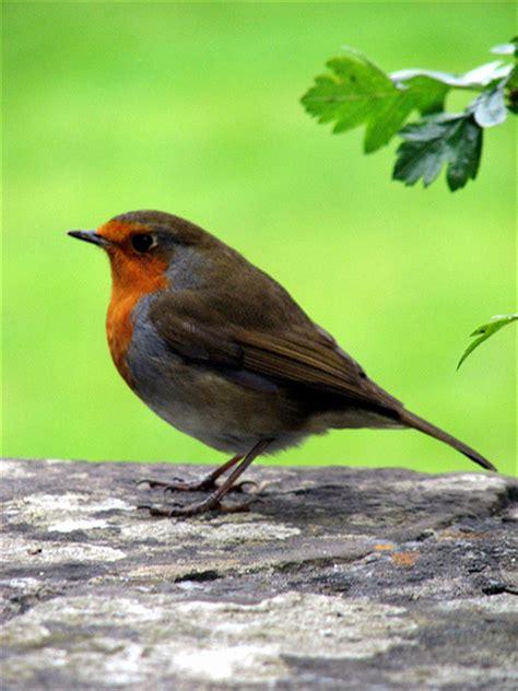 small orange breasted bird flickr photo sharing