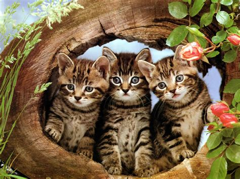 three cute kittens cat kittens wallpaper 2 love and quotes