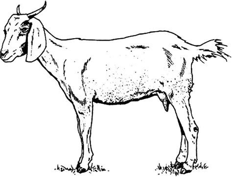realistic goat coloring pages drawn goat coloring pencil and in color drawn goat coloring