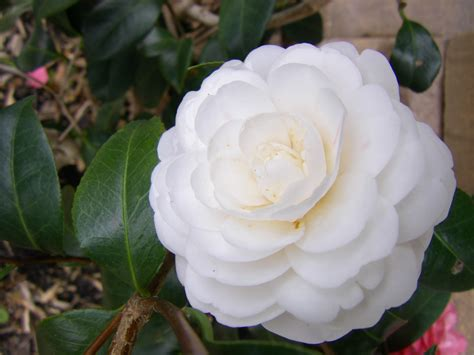 white camellia knitterings and things