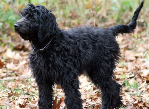black goldendoodle puppies f1b goldendoodles haircuts hairstyle gallery