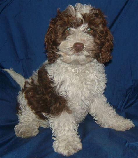 spoodle puppies spoodle puppies for sale breeds picture