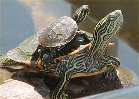 alimenti per tartarughe di terra agraria comand s r l alimenti per tartarughe