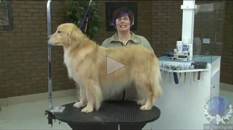 how to groom a golden retriever grooming the golden retriever learn2groomdogs