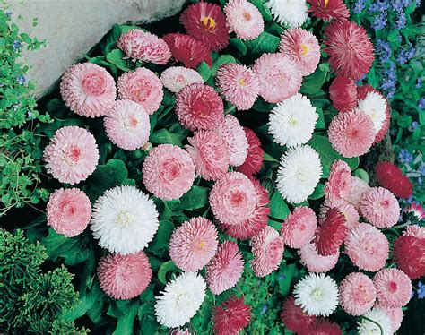 Biji Benih Bunga Candytuft Mix jual benih biji bibit bunga goliath mix rena store